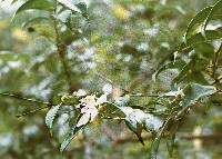 Calycolpus warszewiczianus image