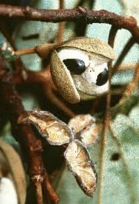 Hampea appendiculata image