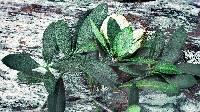 Coccoloba manzinellensis image