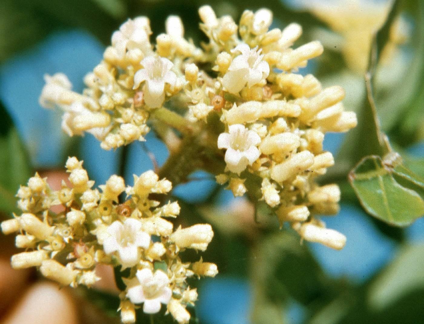 Psychotria hebeclada image