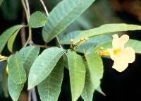 Odontadenia macrantha image
