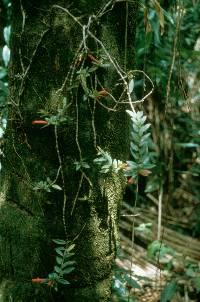 Columnea billbergiana image