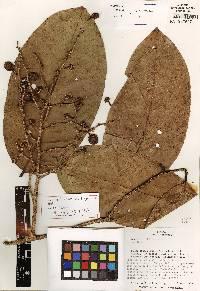 Eschweilera collinsii image