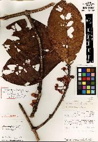 Hiraea grandifolia image