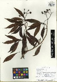 Image of Psychotria chiriquina