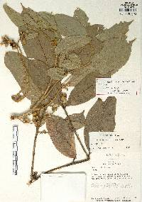 Guarea hoffmanniana image