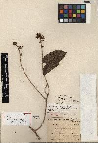 Securidaca tenuifolia image