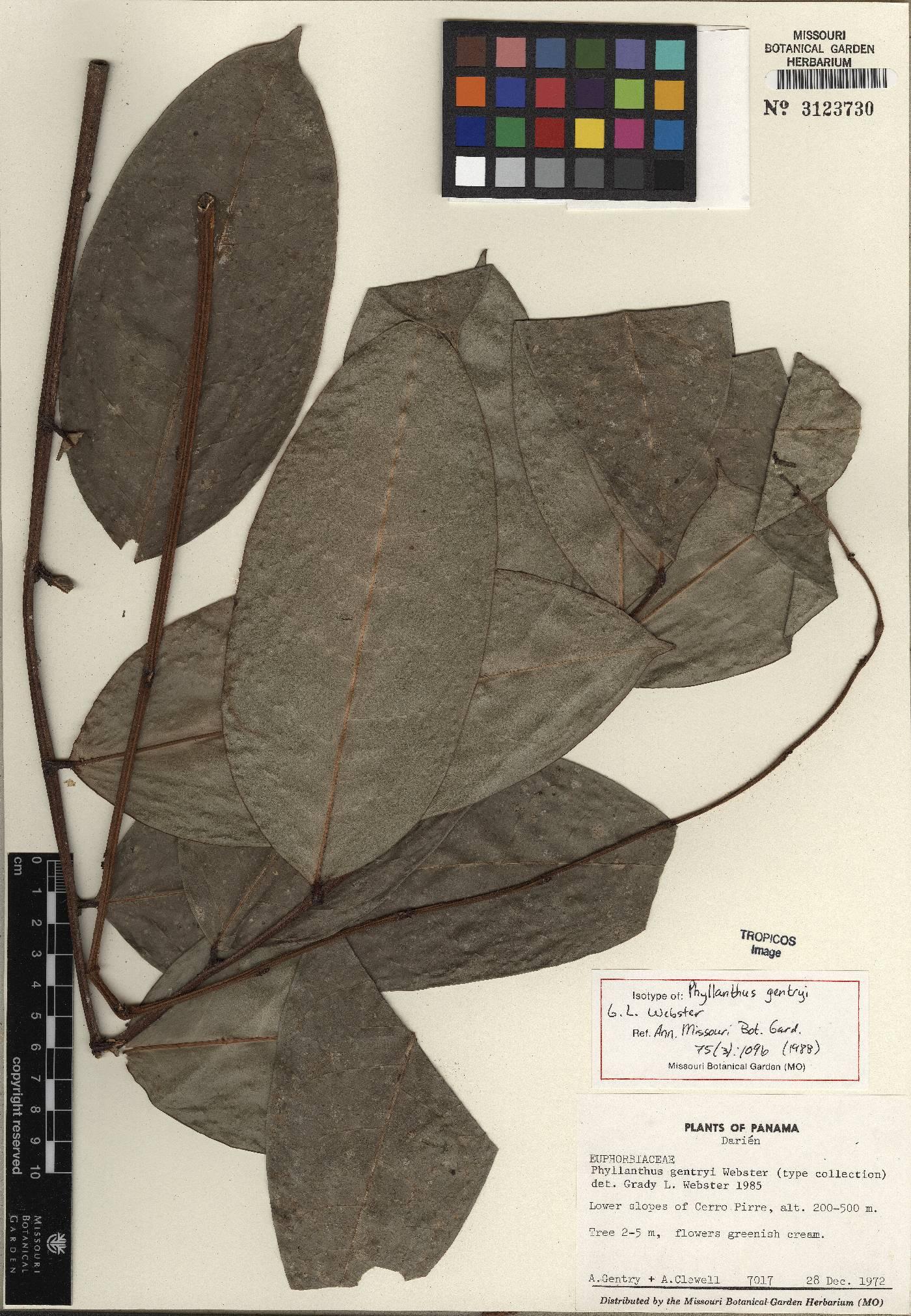 Phyllanthus gentryi image