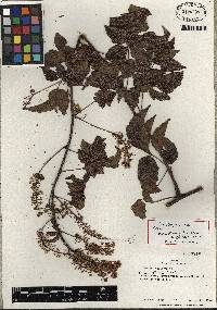 Image of Serjania membranacea