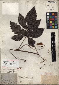 Serjania cornigera image