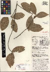 Quararibea santaritensis image