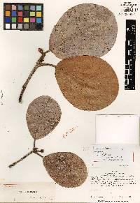 Image of Clusia osseocarpa