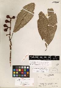 Tovomitopsis nicaraguensis image