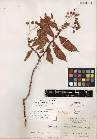 Begonia tonduzii image