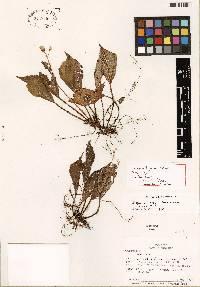 Image of Begonia buseyi
