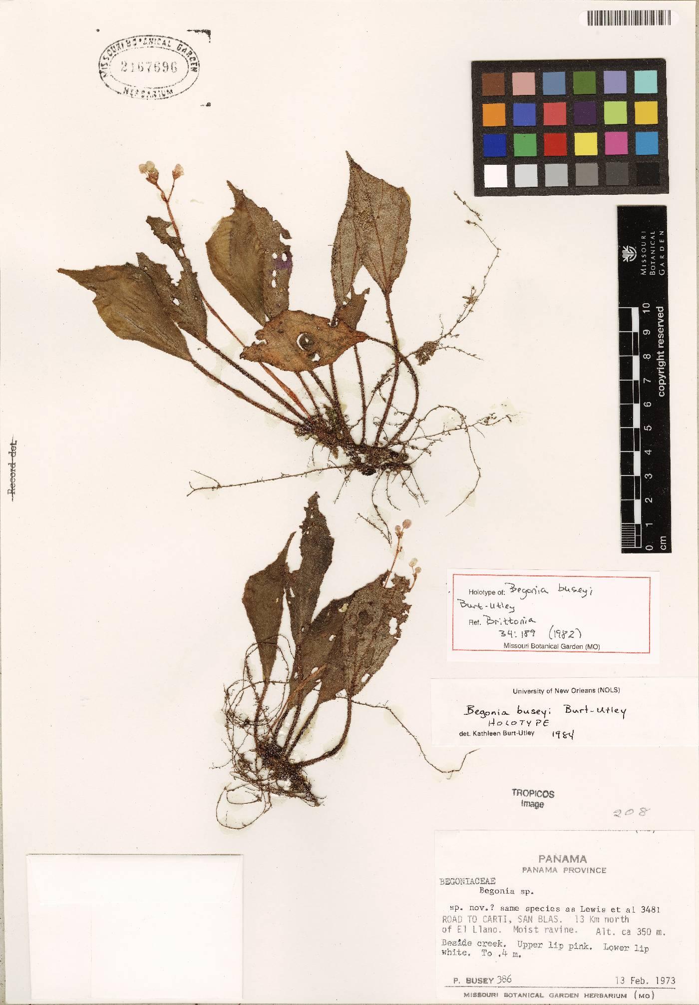 Begonia buseyi image