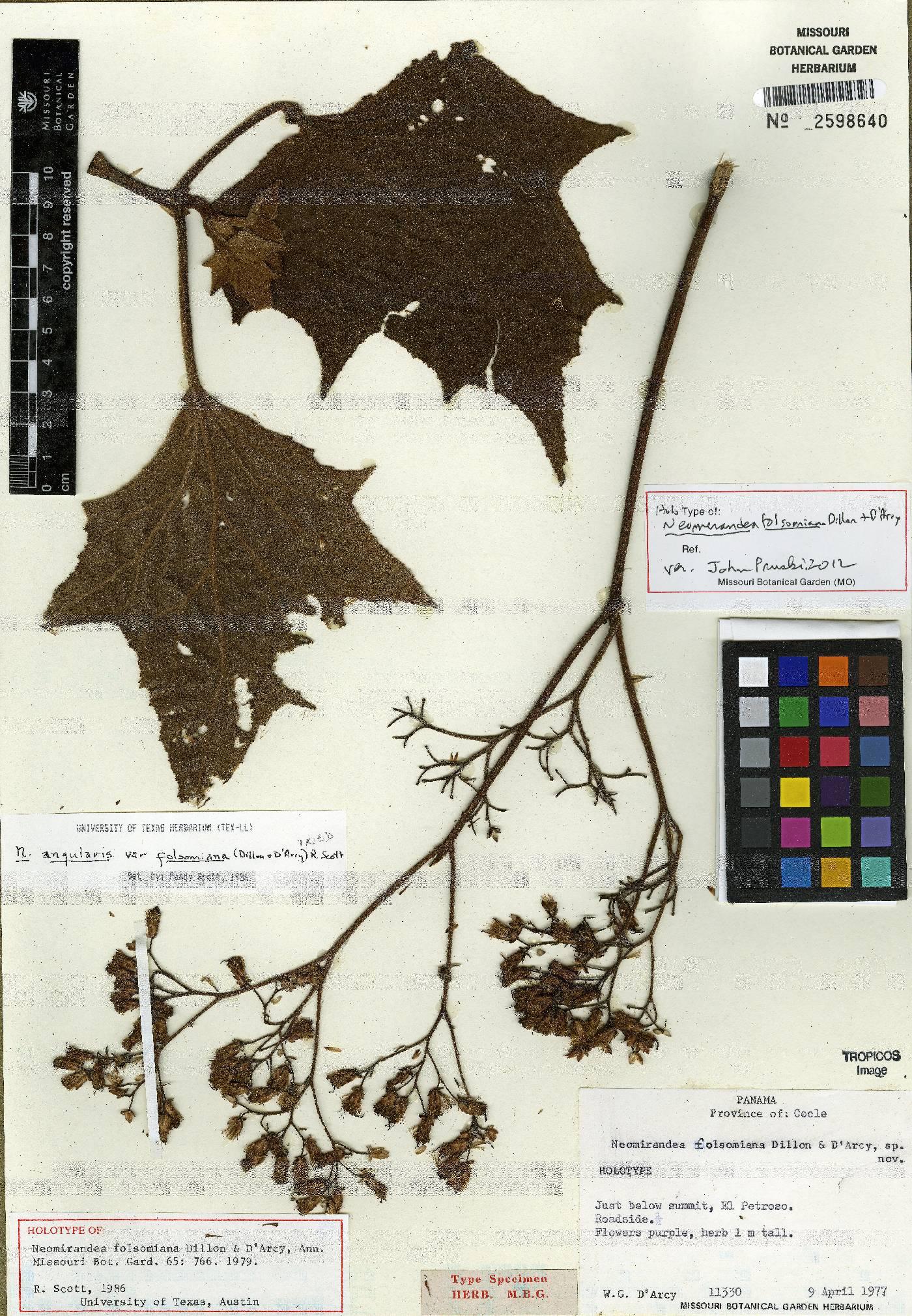 Neomirandea folsomiana image