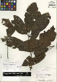 Image of Caryocar nuciferum