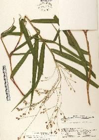 Lasiacis oaxacensis image