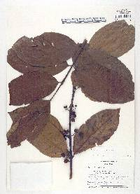 Siparuna guianensis image
