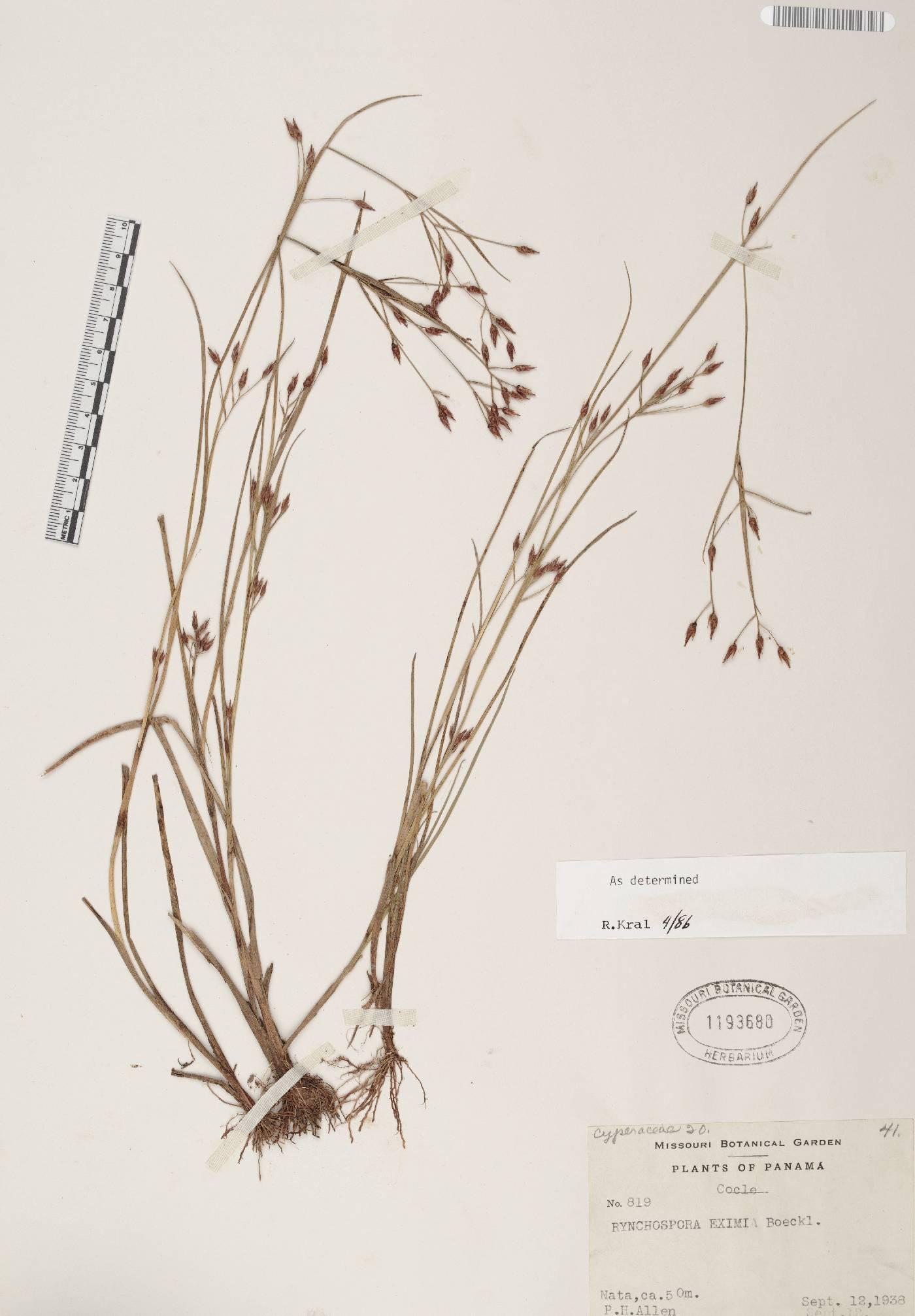 Rhynchospora eximia image