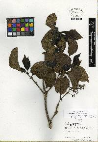 Image of Psychotria allenii