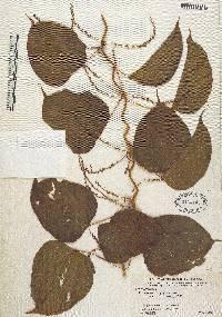 Dioscorea urophylla image