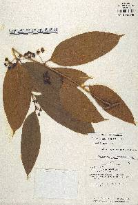 Smilax spissa image