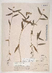 Callisia ciliata image