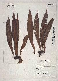Image of Elaphoglossum brevissimum