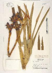 Image of Guzmania sphaeroidea