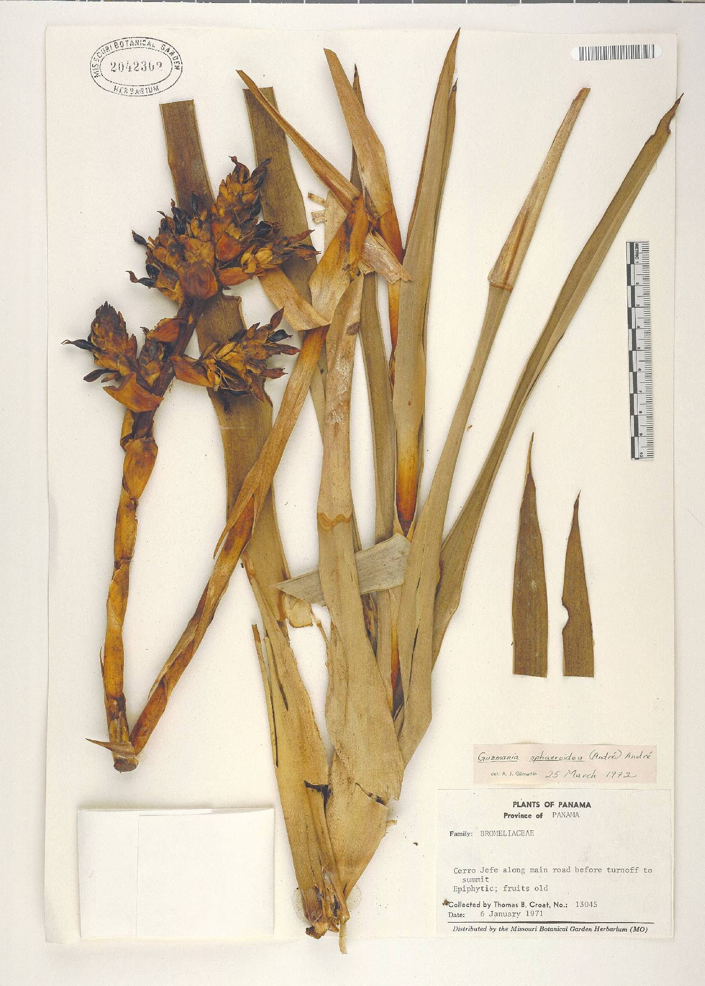 Guzmania sphaeroidea image