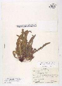 Enterosora percrassa image
