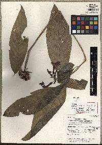 Image of Centropogon darienensis