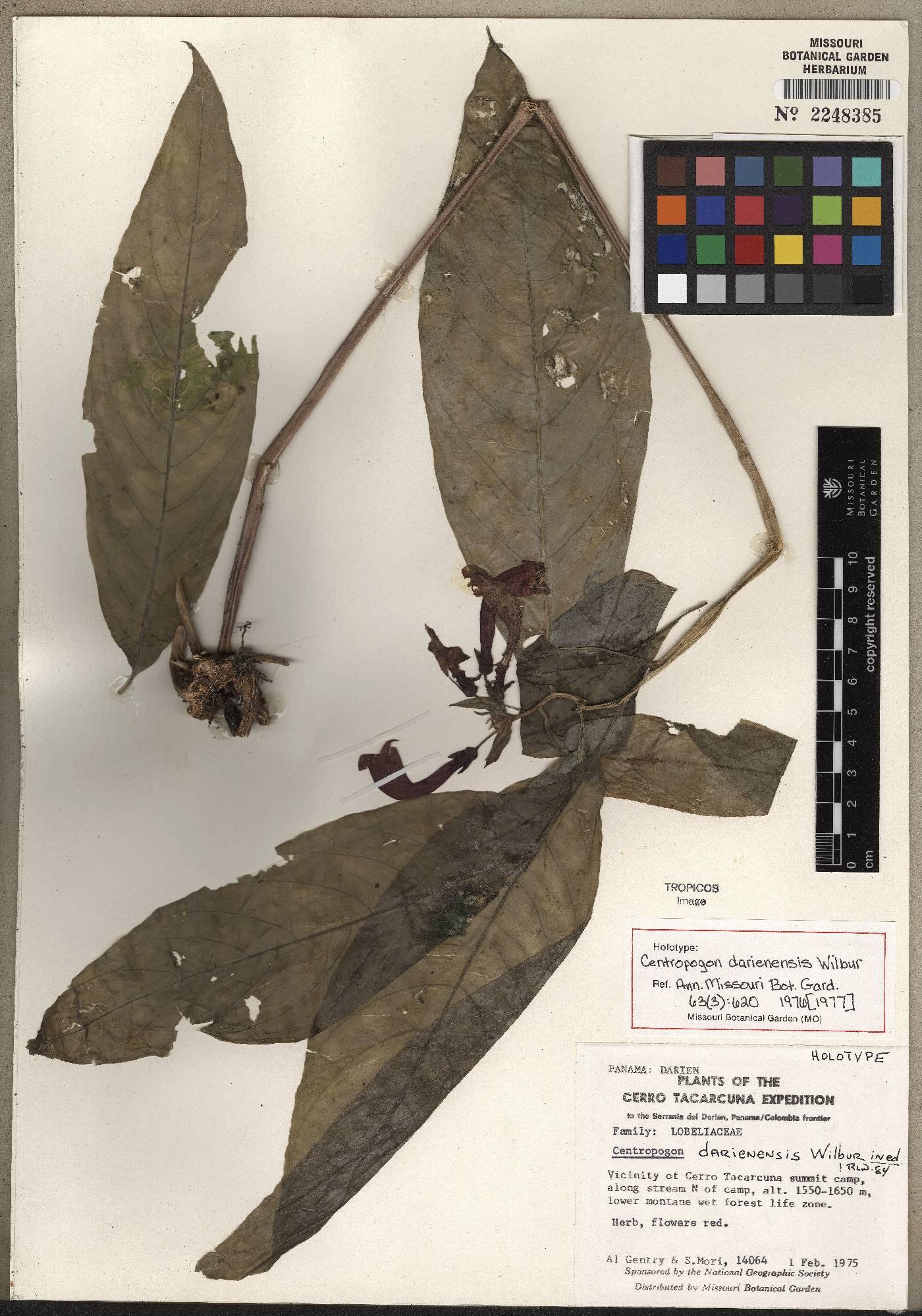 Centropogon darienensis image