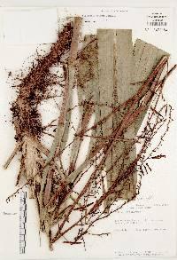 Pitcairnia valerioi image