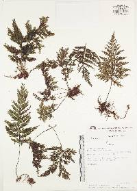 Image of Hymenophyllum microcarpum