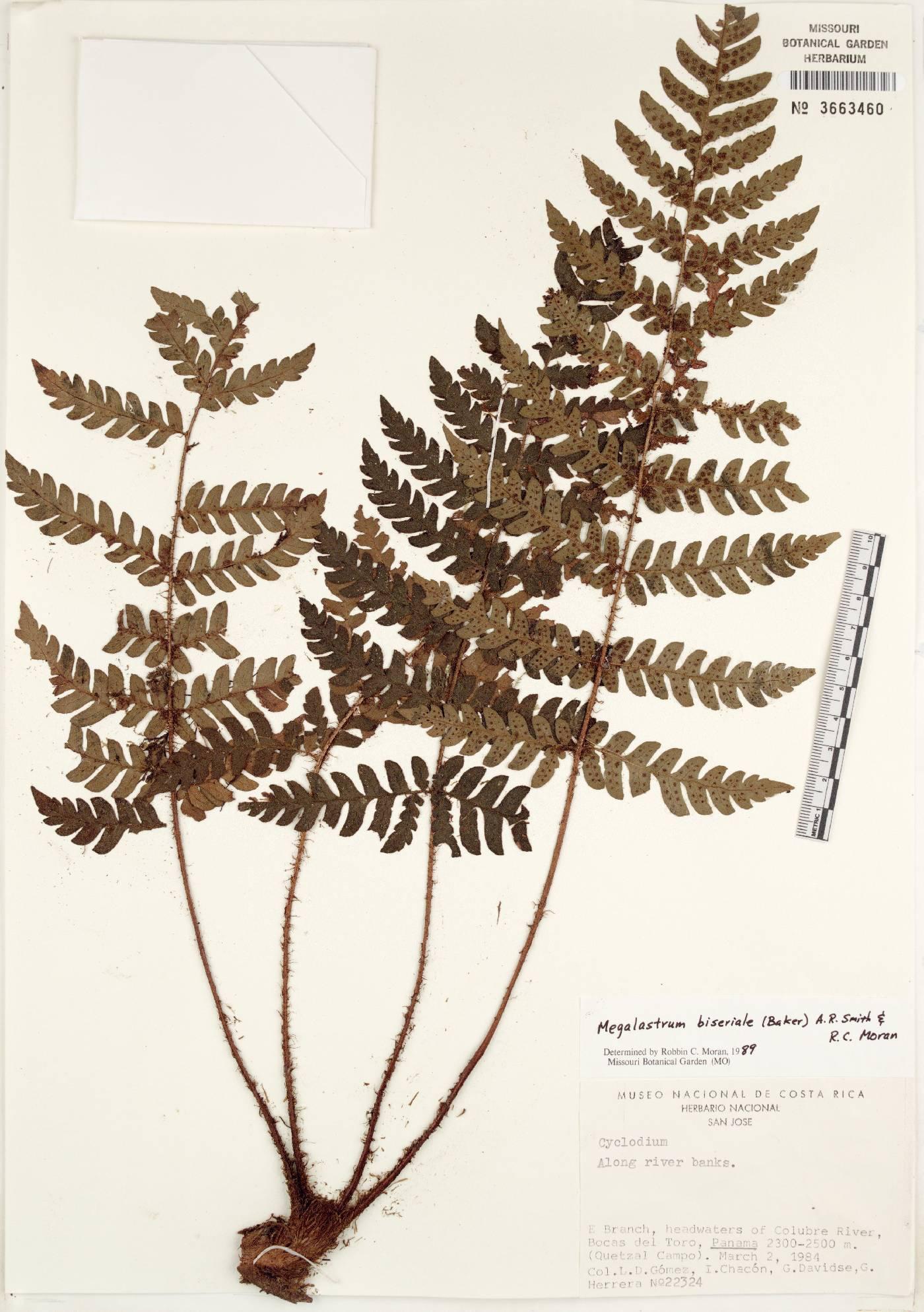 Megalastrum biseriale image