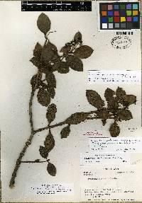 Notopleura peperomiae image