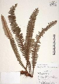 Image of Polypodium bombycinum