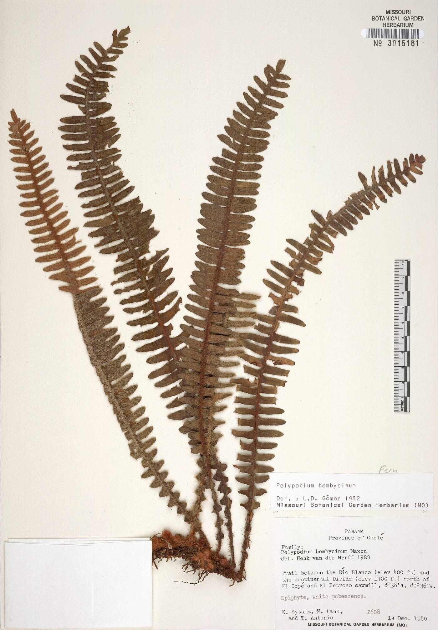 Polypodium bombycinum image