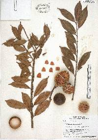 Lafoensia punicifolia image