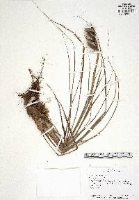 Image of Werauhia graminifolia