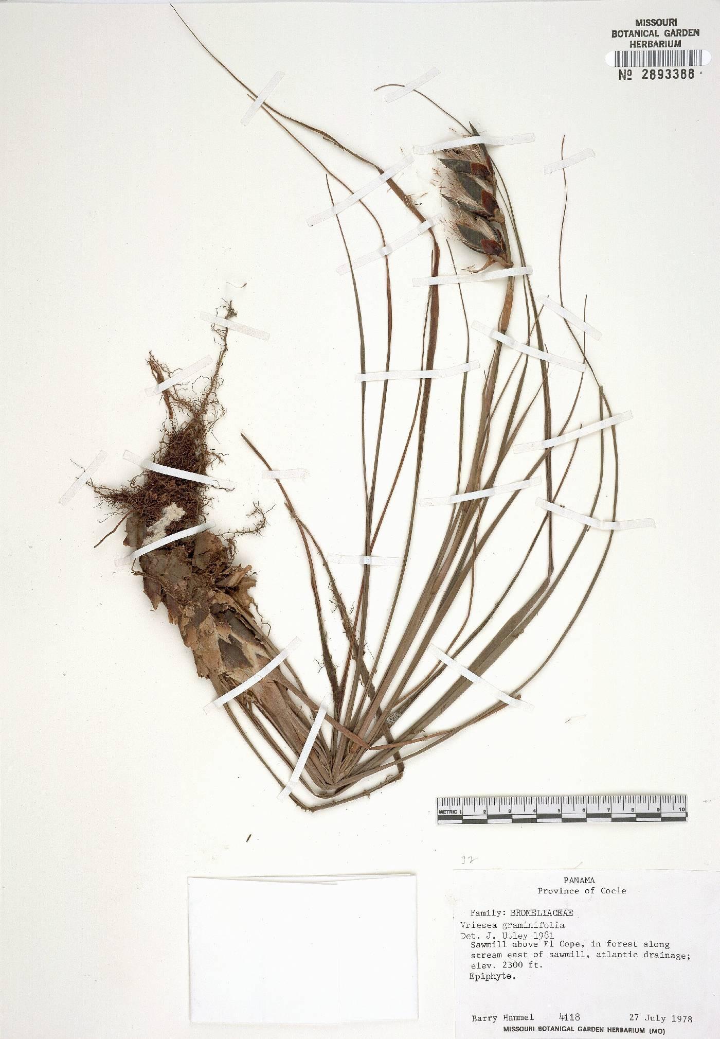 Werauhia graminifolia image