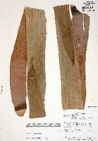 Vriesea leptopoda image