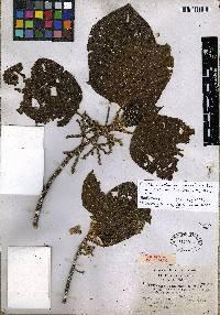 Guettarda crispiflora image