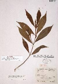 Image of Psychotria boquetensis