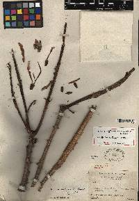Erythrina chiriquensis image