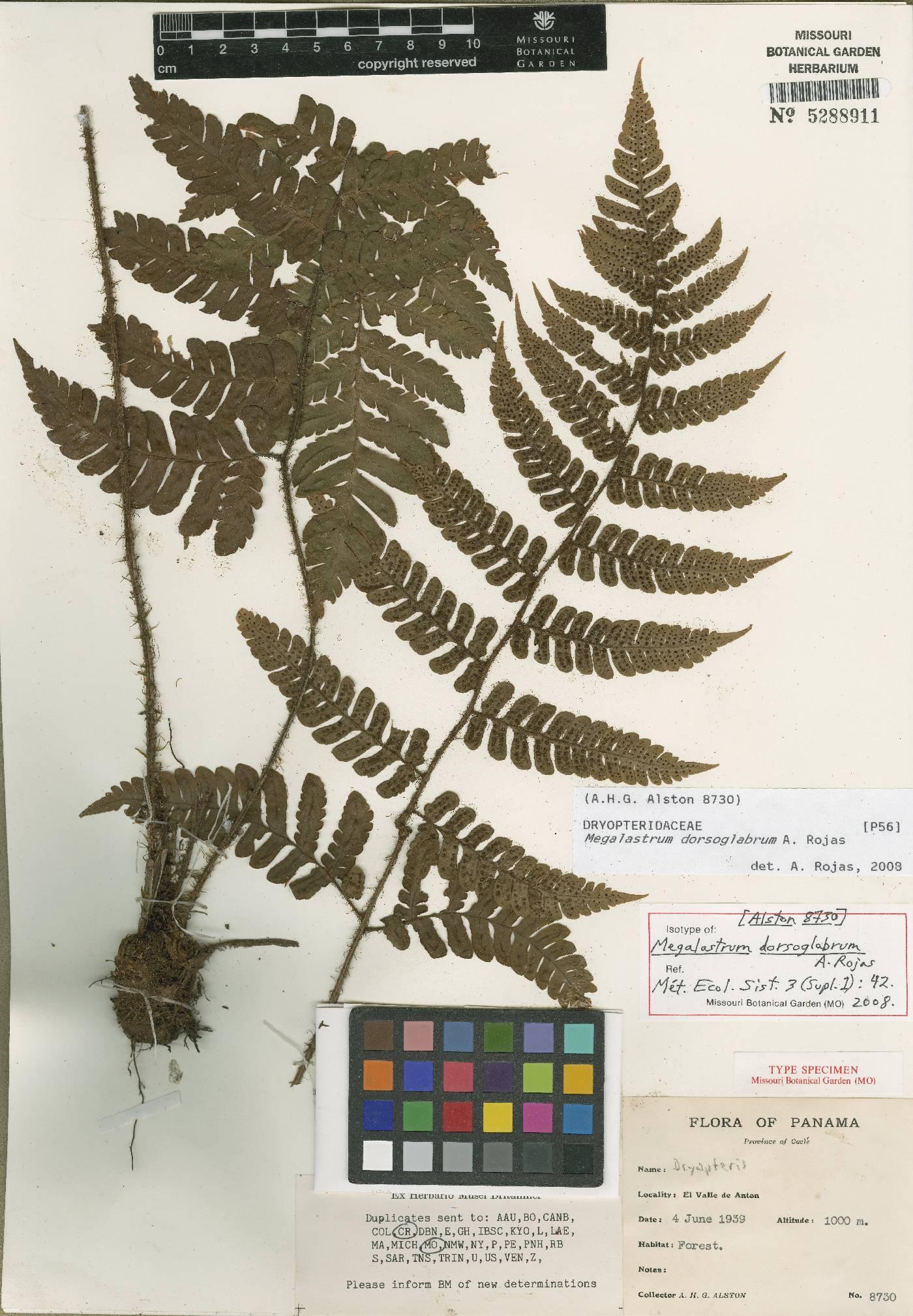Megalastrum reductum image