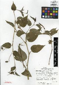 Image of Centropogon luteynii